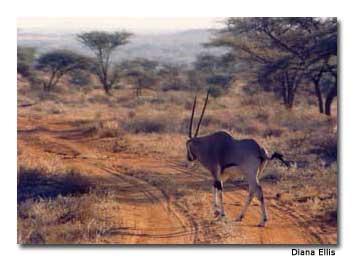 gazelle at Maasai Mara