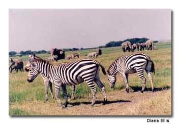 zebras Maasai Mara
