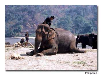 Mounting an elephant can be an undignified affair, for both man and beast, bt the mahouts know how to do it best.