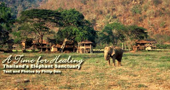 Elephants roam freely near Chiang Mai, Thailand.