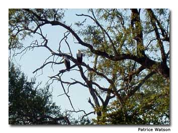 A pair of fish eagles perch in a tree by the river.
