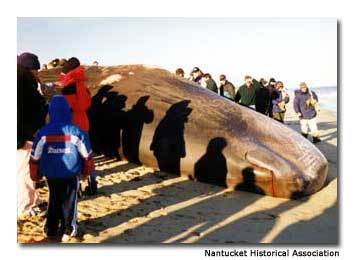 When whales wash ashore people what can be done? A lot in Nantucket