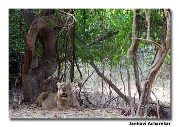 A lioness lies under a banyan tree.