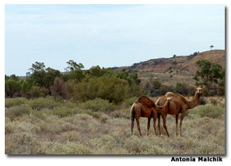 Arab men brought camels from Afghanistan to work in themerciless Outback. Once both men and camels had finished building the cross-country railroad, the camels were set loose and now roam wild.