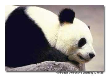 Adopt a giant panda through WWF for as little as US$ 25.