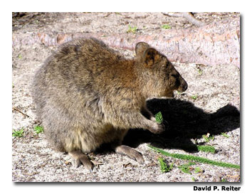 Quokka's can be found on Wadjemup.