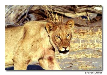 A large and intimidating-looking female lioness prowls along Botswana's Khwai River.