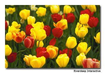 Brightly-colored tulips help depict an authentic Dutch theme in the park.