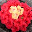 Palawan Blooms