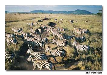 Zebra crossing the Serengeti