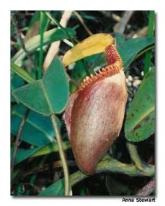 The carnivorous pitcher plant, one of Kinabalu's unique endemic plants.
