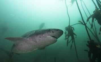 Cow shark near Cape Town, South Africa. Photo by Aaron Gekoski