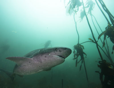 Cow shark near Cape Town, South Africa. Photo by Aaron Gekoski