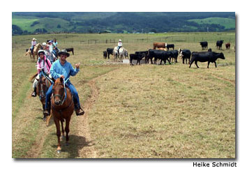 Participants in Parker Ranch horseback-riding tours encounter lots of domesticated cattle.