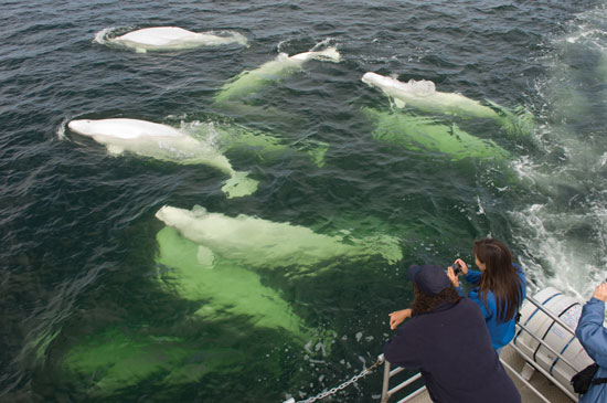 Beluga whales in Hudson Bay. Photo by Travel Manitoba