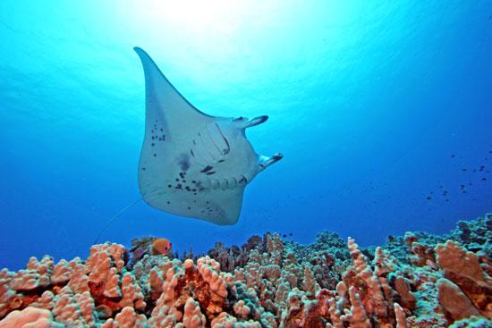 Giana manta rays in Hawaii. Photo by John Haut, Kona Divers