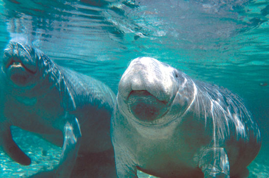 Manatees frequent the waters by Citrus County, Florida. Photo by Citrus Country CVB