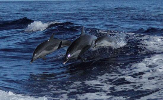 Dolphins at play. Photo by Benjamin Rader