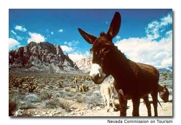 Wild burros are a common sight in northwestern Nevada, which is home to half the nation's wild horses and burros.