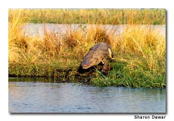 Nile crocodiles fill the Zambezi River. Canoeists often see them on the river's edge, soaking in the sun during the day.