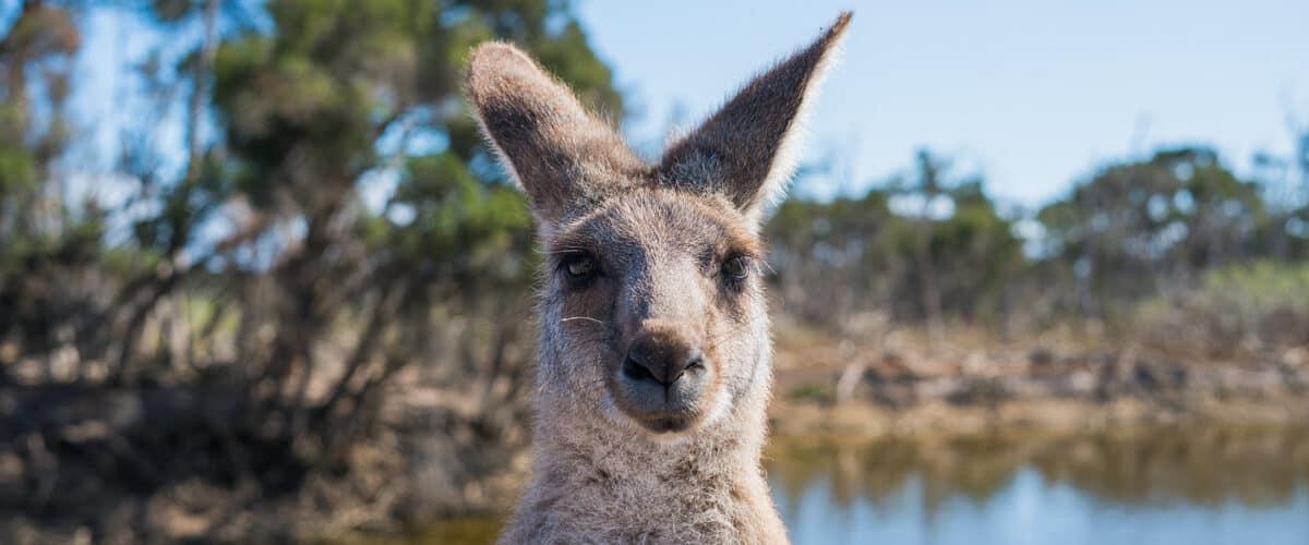 Kangaroo is camera ready in Australia