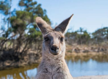 Kangaroo is camera ready in Australia