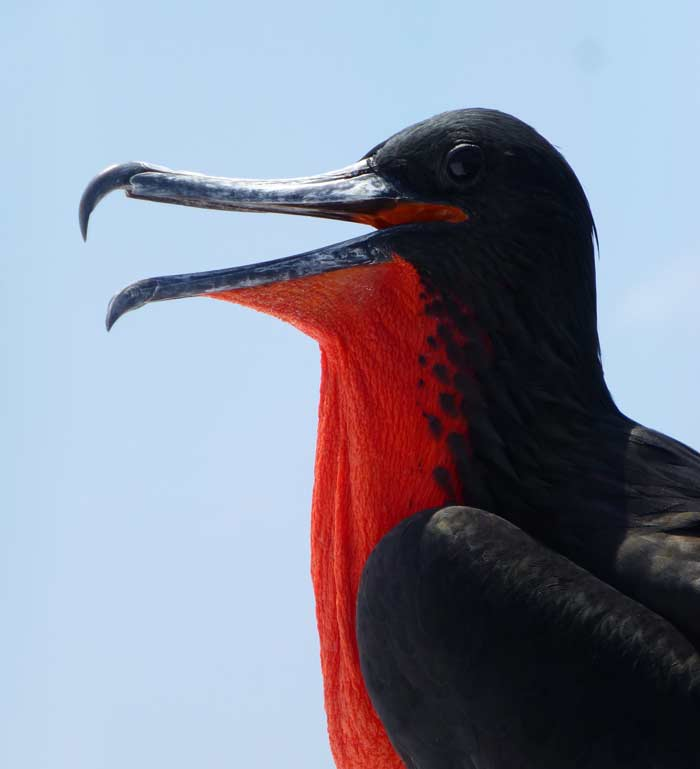 Red-Throated Frigate bird in Galapagos