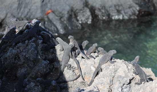 Iguanas sunning in the Galapagos Islands