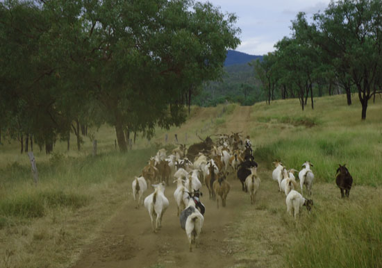 Driving the goats toward home at Krrombit Park.