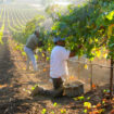 Harvesting grapes in California. Photo by the Wine Institute