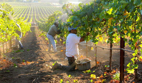 Harvesting grapes in California