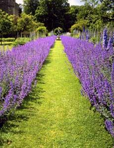 Rows of lavender in Gettysburg.