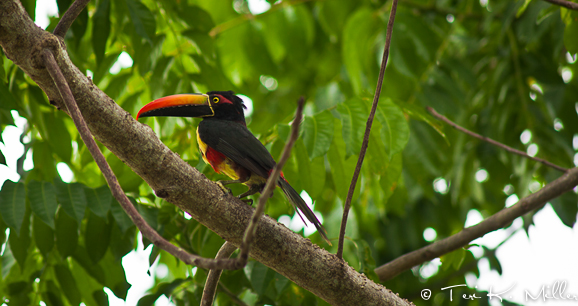 Aracari Toucan at Lapa Rios, Costa Rica
