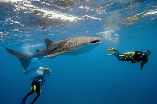 A curious whale shark checks out some divers.