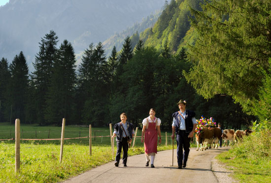 Bringing the cattle down from the mountains. Photo by La Gruyère Tourism