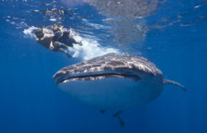 Swimming with Whale Sharks: Cancun's Gentle Giants