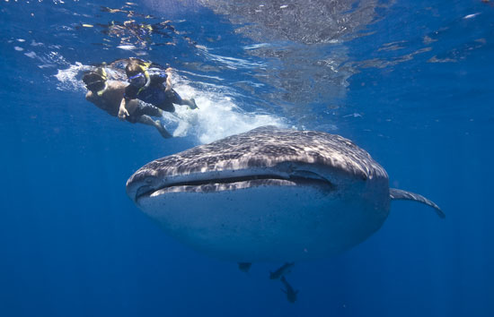 Snorkeling with whale sharks near Cancun.