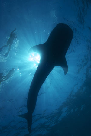 Feasting and birthing babies, these whale sharks come to Cancun every May through September.