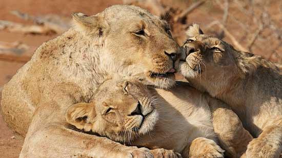 Lions in Zambia's Lower Zambezi National Park. Photo by Aaron Gekoski