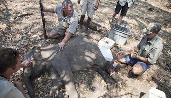 Removing a snare from a baby elephant. Photo by Aaron Gekoski