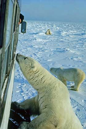Getting up close and personal with polar bears near Churchill, Manitoba. Photo by Travel Manitoba