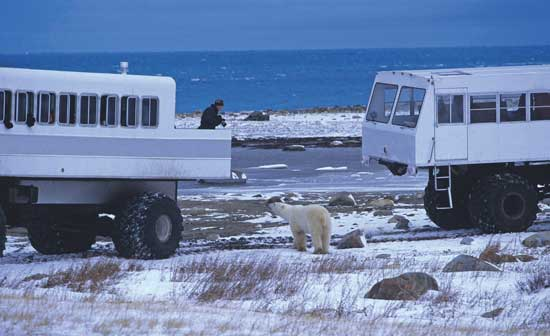 Special tundra vehicles allow visitors to view and photographs polar bears and other Arctic wildlife. Photo by Travel Manitoba