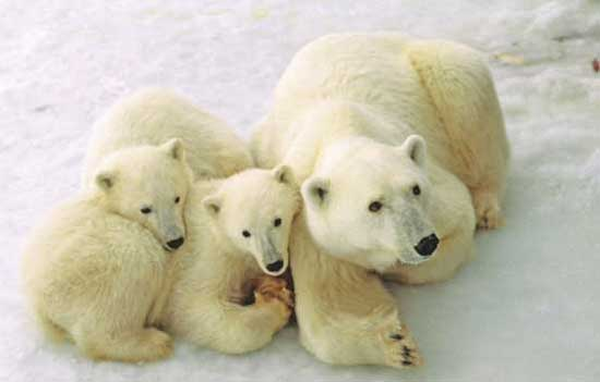 Female polar bear and her cubs near Churchill, Manitoba. Photo by Travel Manitoba