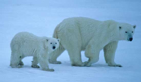 Polar bears can be observed in the wild near Churchill, Manitoba. Prime polar bear viewing time is October and November. Photo by Travel Manitoba.