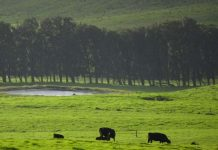 The Island of Hawaii has many large ranches. Photo by Benjamin Rader