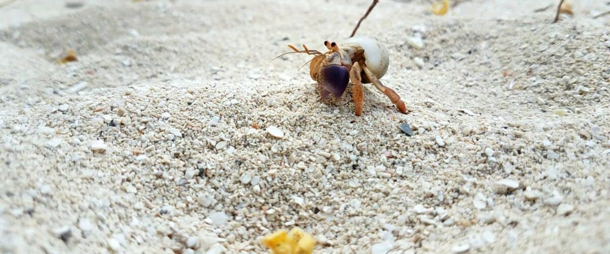 Little crab on beach in Belize
