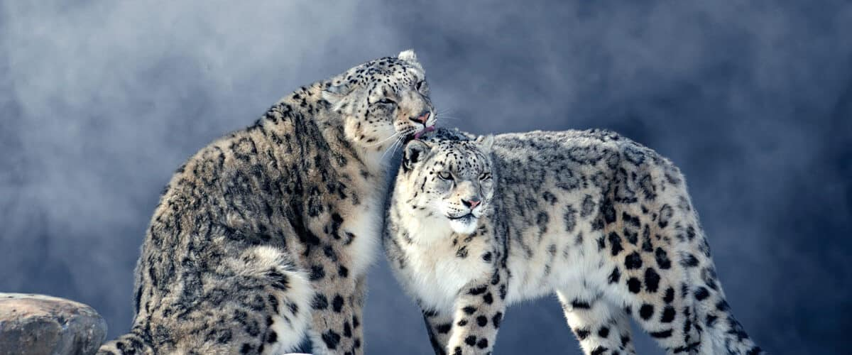 Snow leopards in Russia