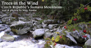 Trees in the Wind: Czech Republic's Šumava Mountains