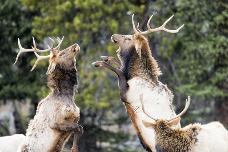 Elk in Rocky Mountain National Park vie for dominance with a grand display — Photo courtesy of Colorado Tourism Office & Matt Inden/Miles