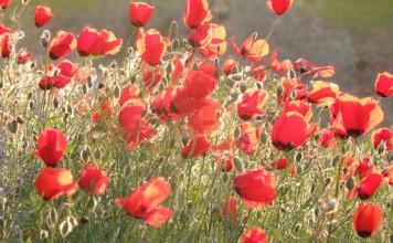Poppies in the desert.